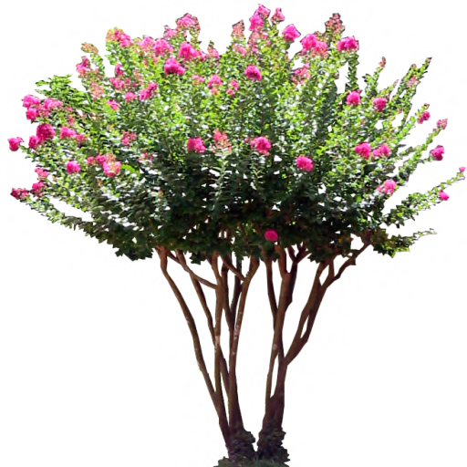 Crate myrtle png. Pink laurel shrub by