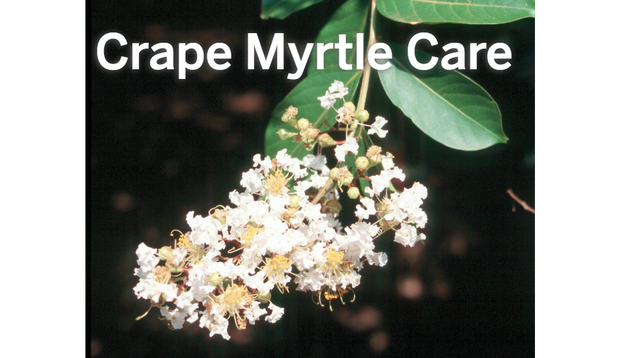 Crate myrtles yellow png. Crape answers to all