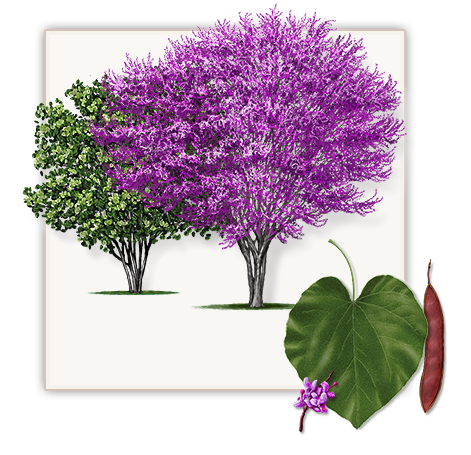 Crate myrtles yellow png. Red bud tree mature