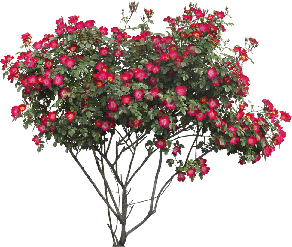 Crate myrtles yellow png. Bush stock by gilgamesh