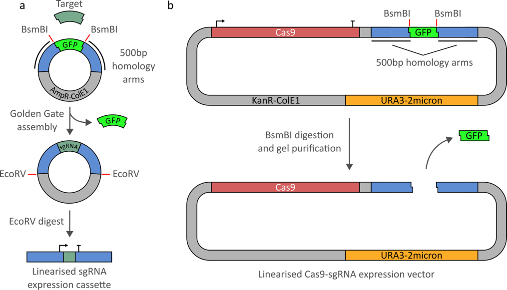 Entry vector. Quick and easy crispr