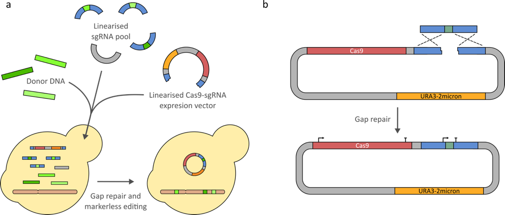 Entry vector cassette. Quick and easy crispr