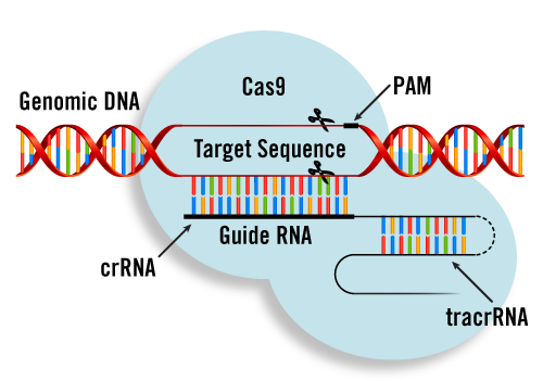 Crispr vector pam. In the classroom by