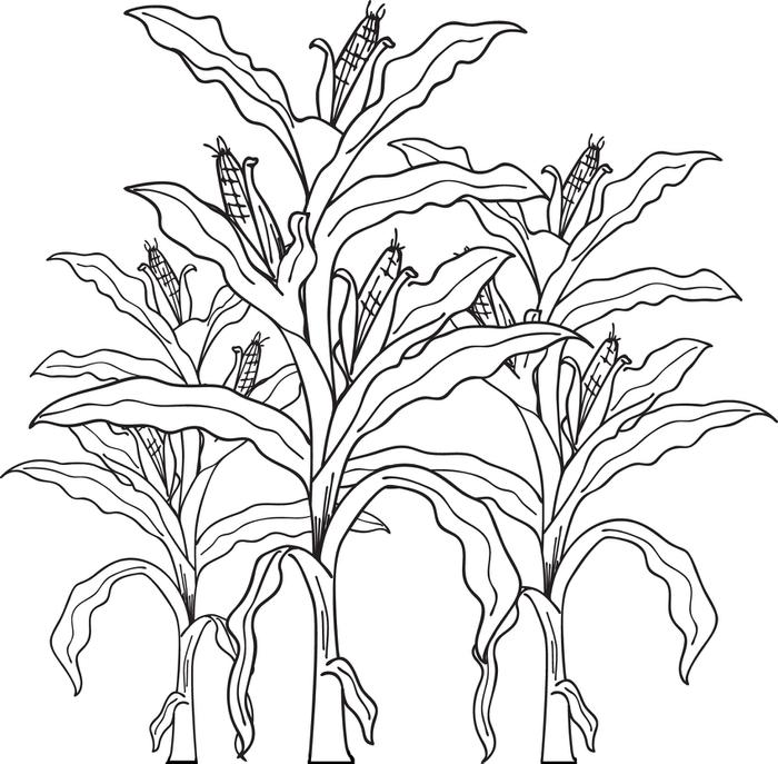 Crops clipart corn stalk. Plant drawing at getdrawings