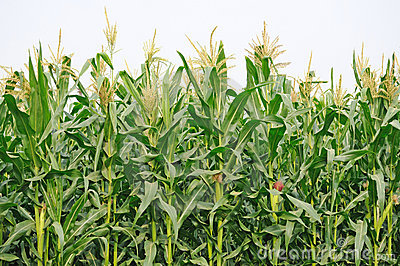 Crops clipart maize crop. Agriculture corn field thumb
