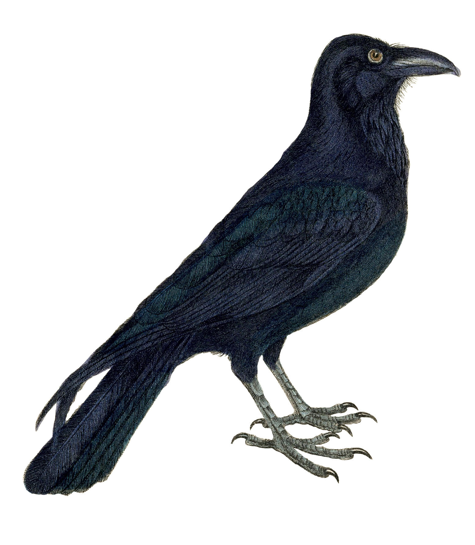 Crow clipart victorian. Free vintage image the