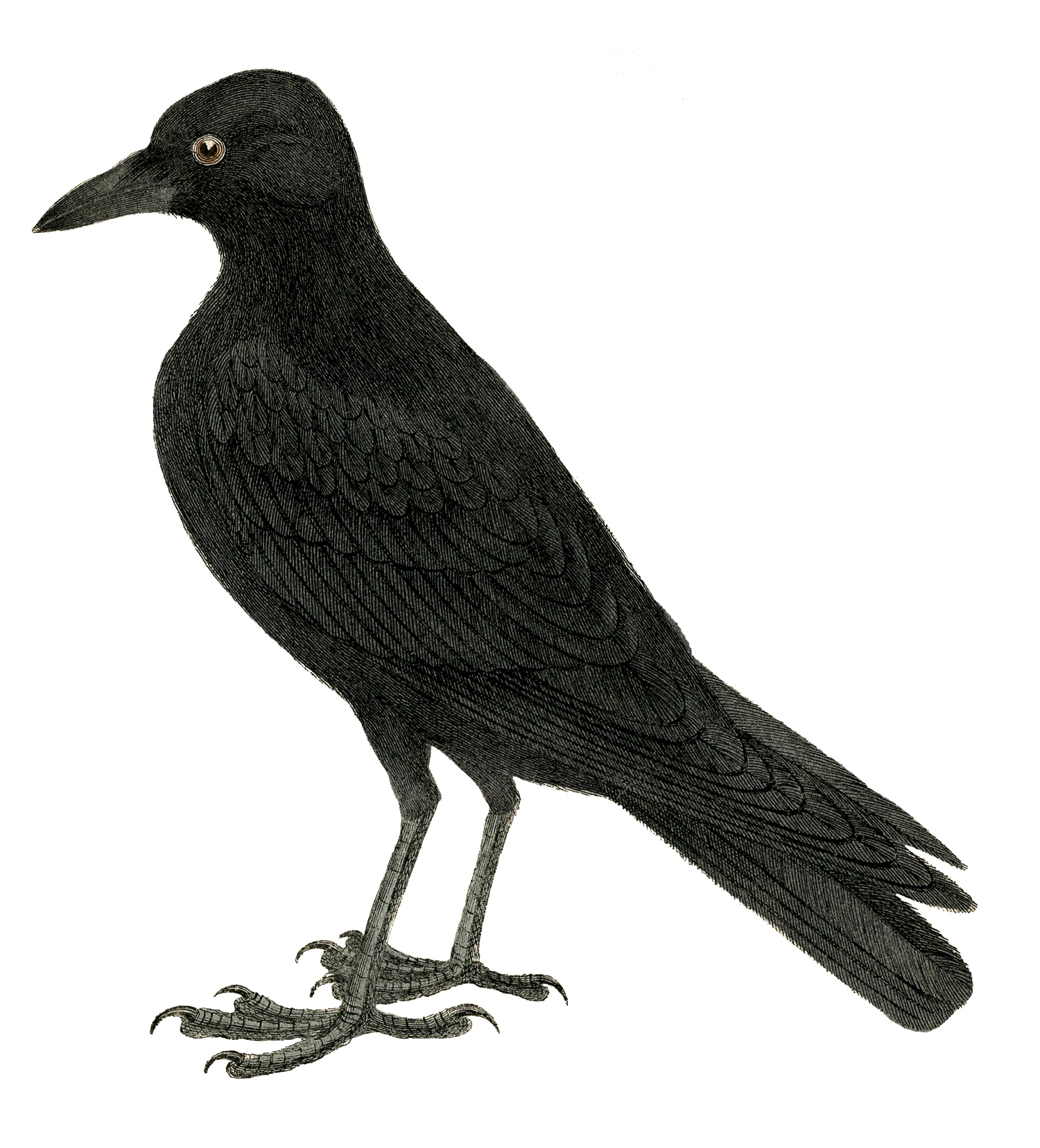 Crow clipart victorian. Halloween image or raven