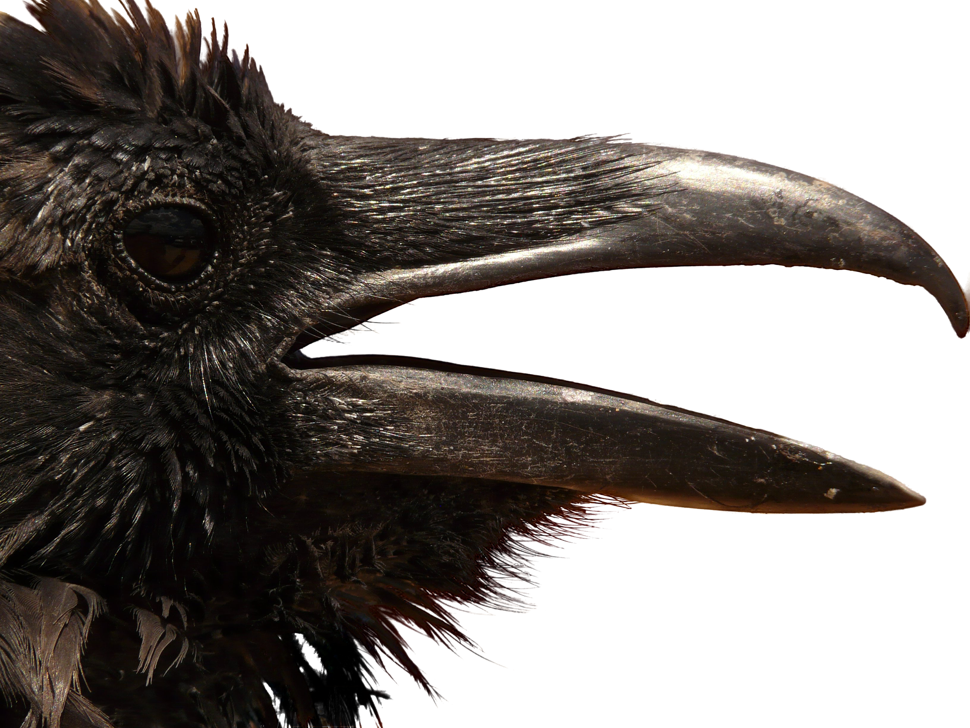 Black old the mad. Crow feather png jpg royalty free stock