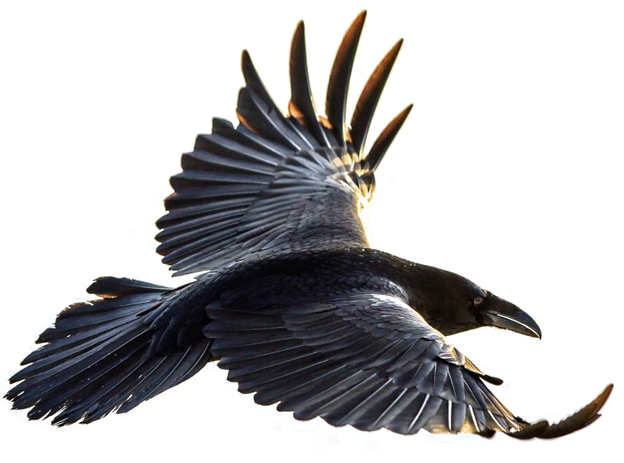 Crow flying png. Taxidermist family and bird