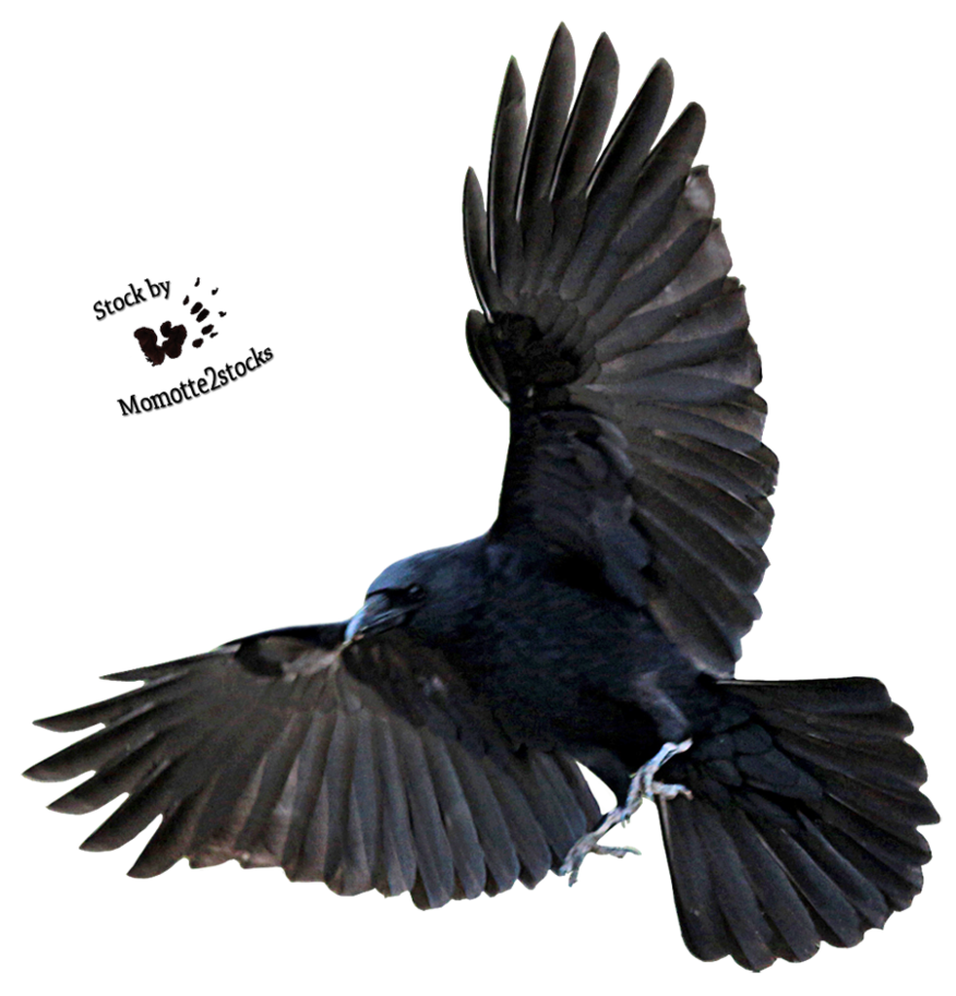 Crow flying png. Cut out stock majestic