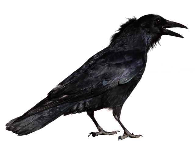 Crow head png. Image by peroni d