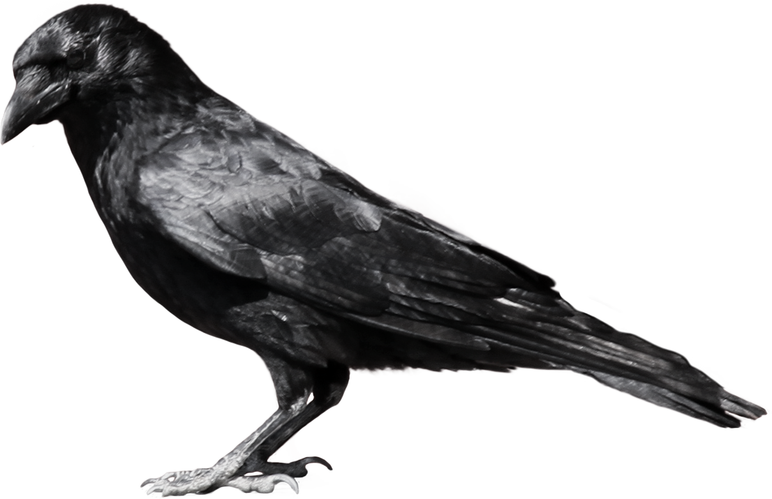 Crow png images. Download pictures image