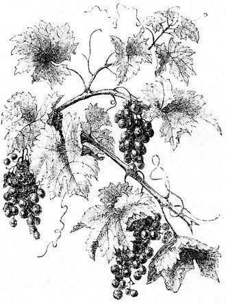 Crumpled grape. Vine drawing in