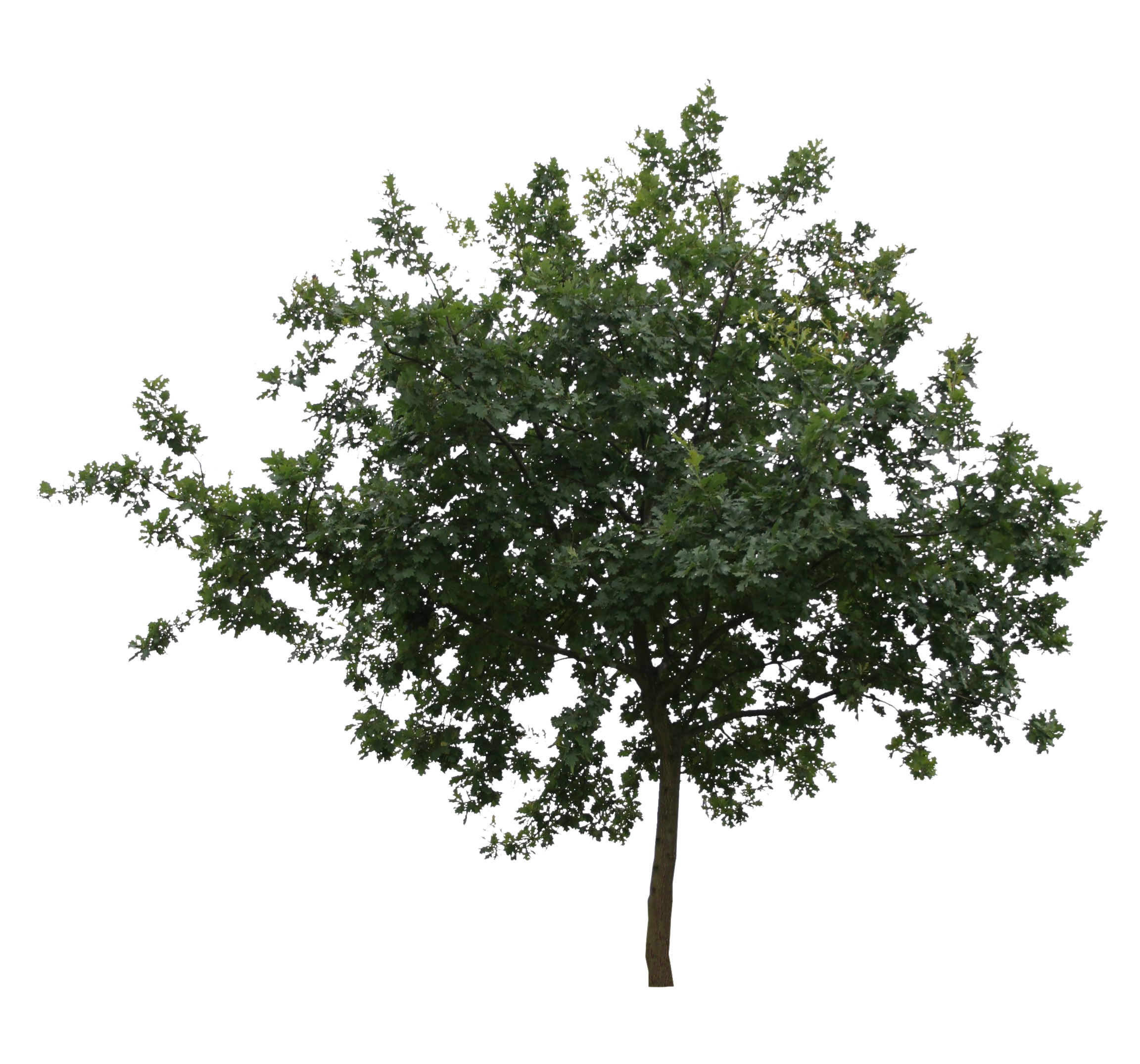 Cut out trees png. Small shapely tree free