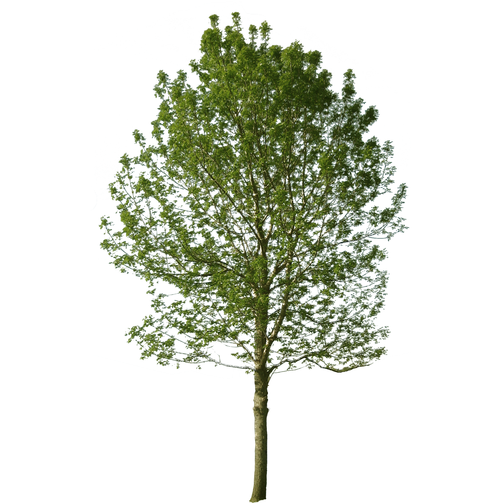Cut out trees png. Cutout tree pinterest photoshop