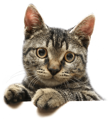 Cute cats png. Cat looking transparent stickpng