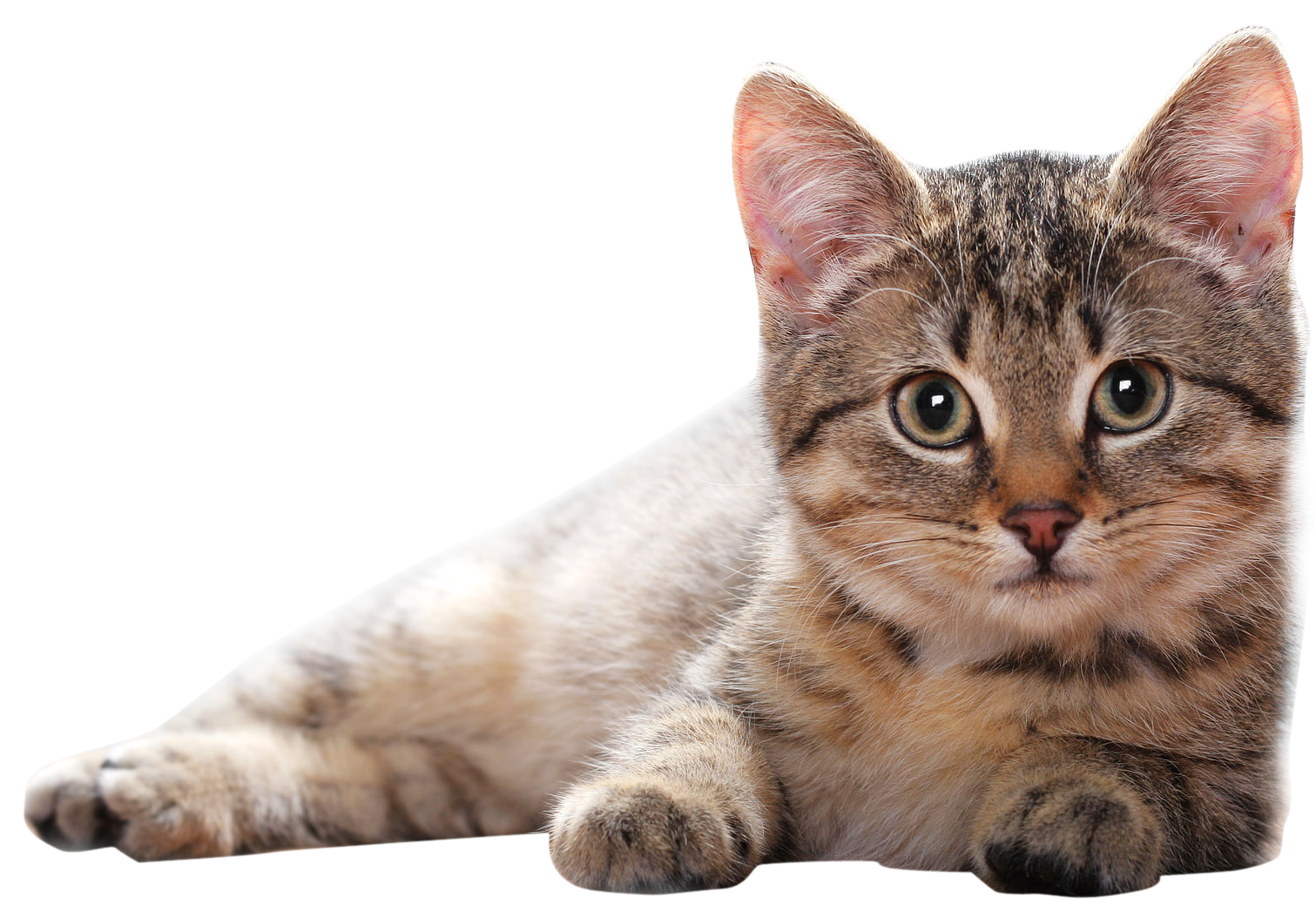 Cute cats png. Lying cat
