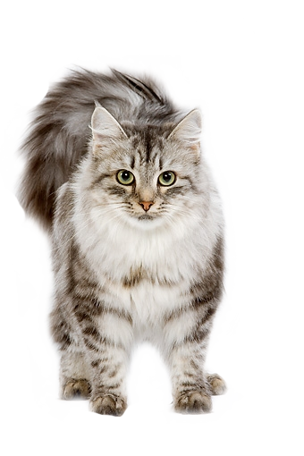 Cute cat png. S shared by alyson