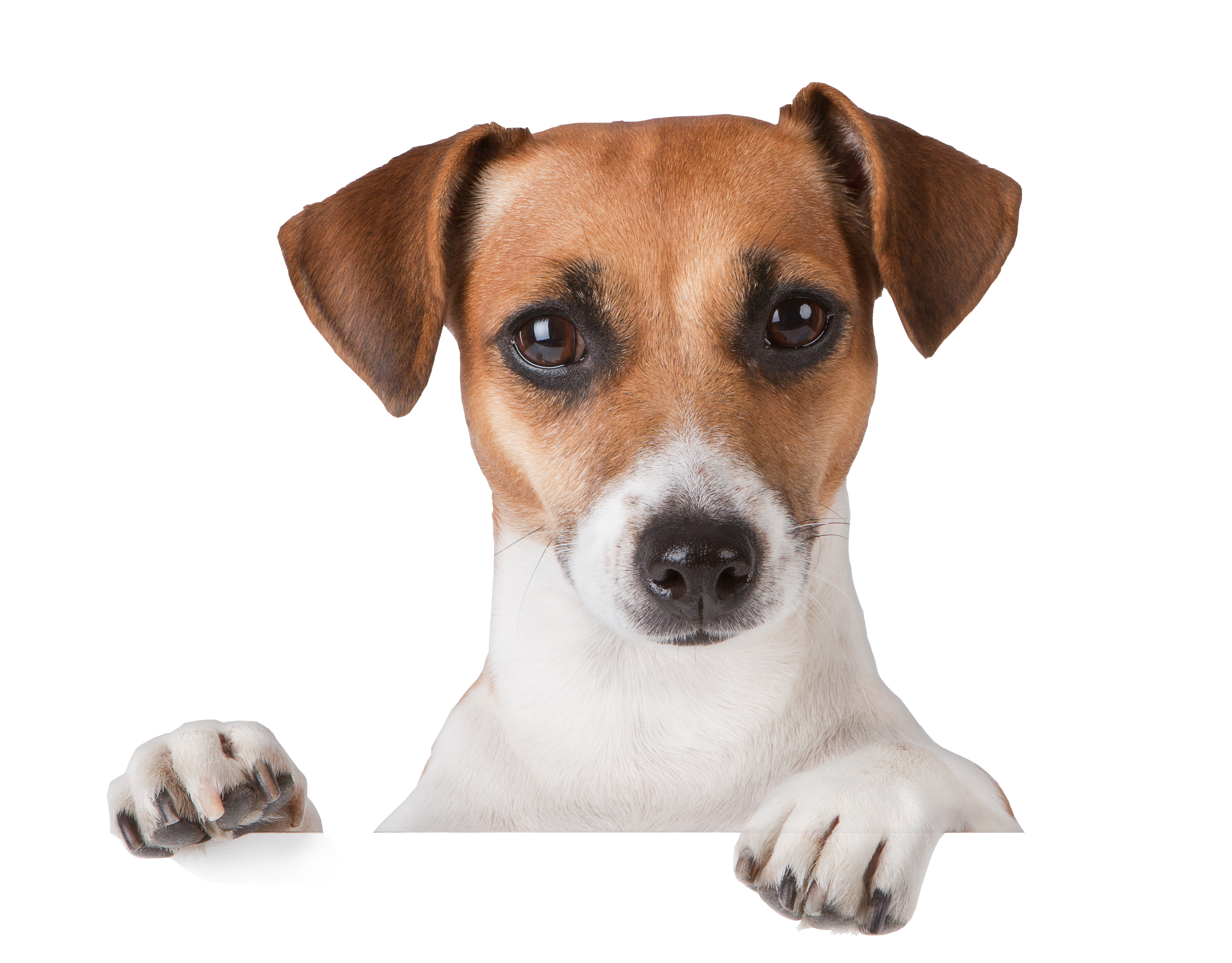 Cute dog png. Image dogs puppy pictures