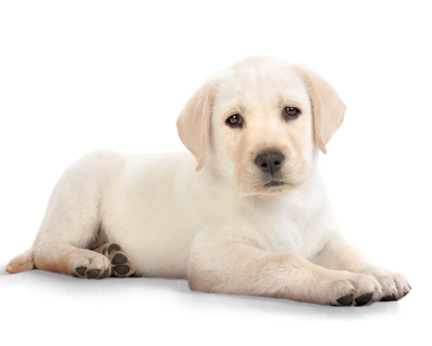 White dog png. Cute hd transparent images