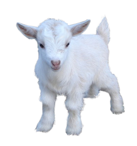 Goat .png. Cute fluffy png transparent