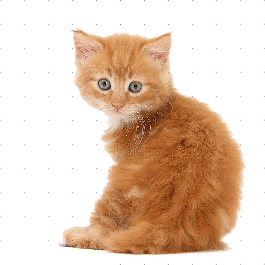 Kittens transparent fluffy. Cute png pics