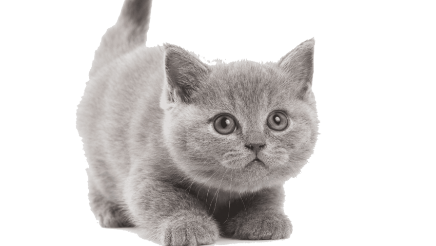 Kittens transparent white. Download cute free pictures