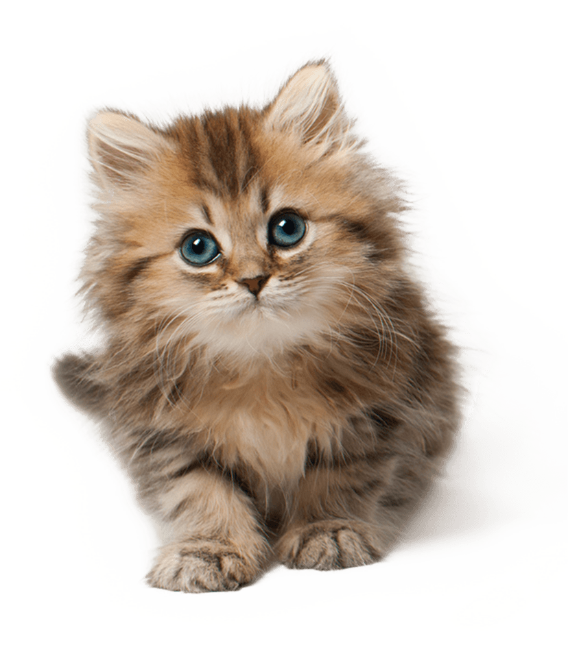 Cute kitten png. Cat image purepng free