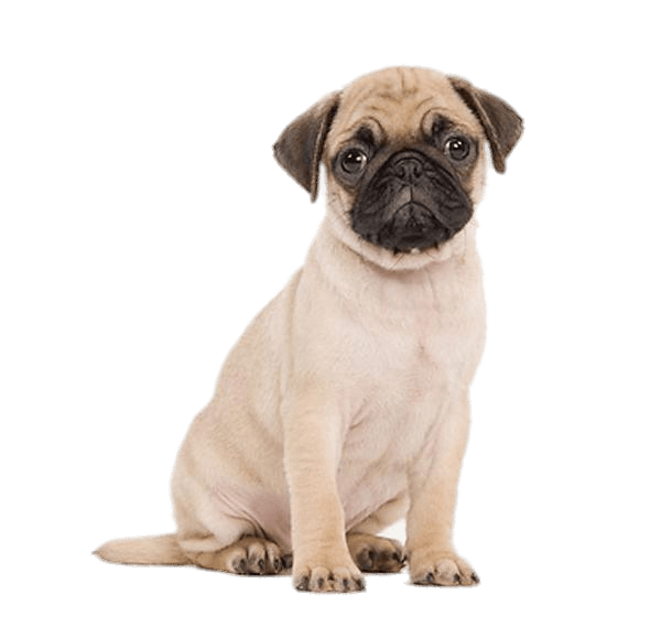 Cute pug transparent stickpng. Puppy png clip art black and white download