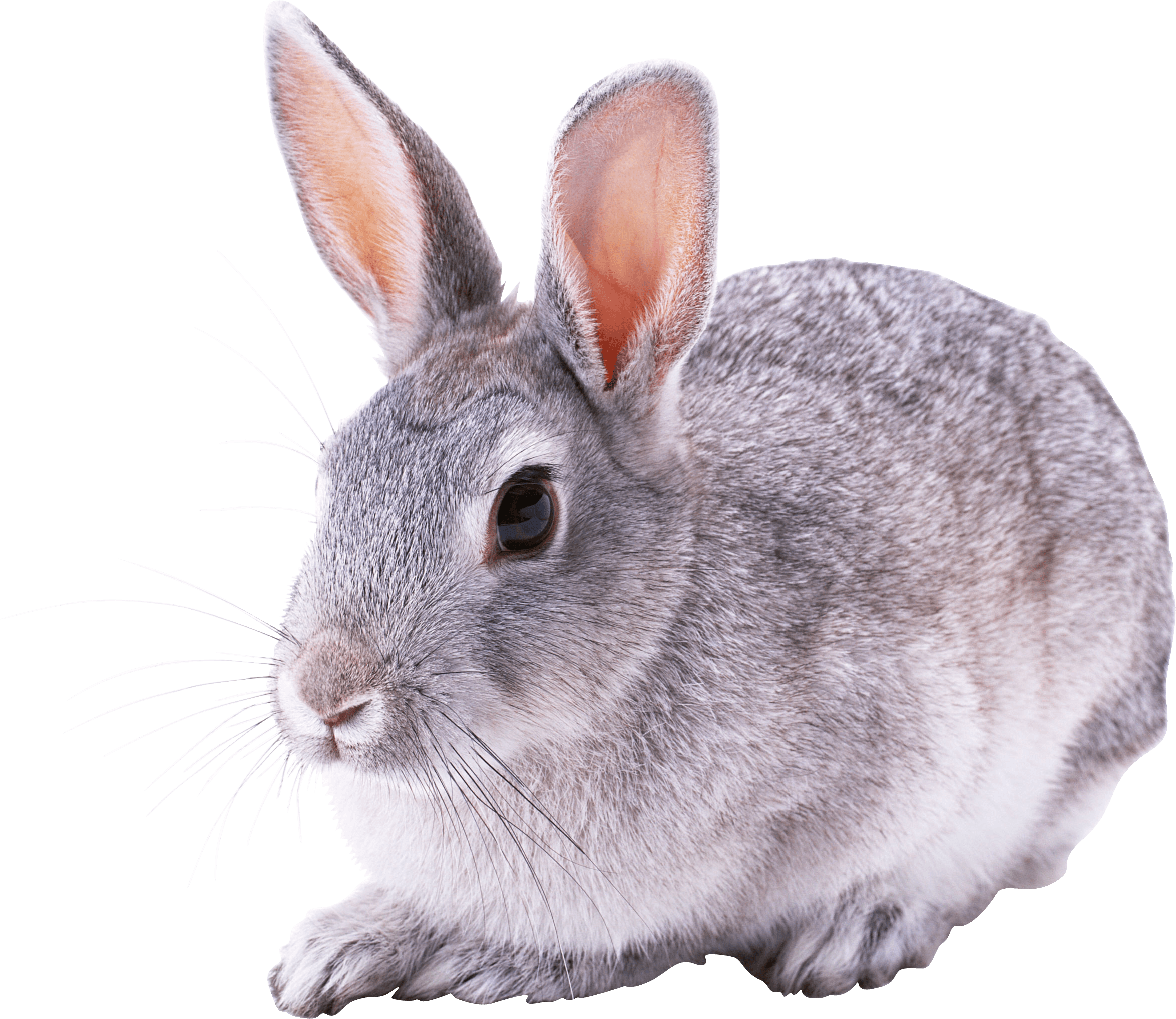 Cute rabbit png. Great sitting transparent stickpng