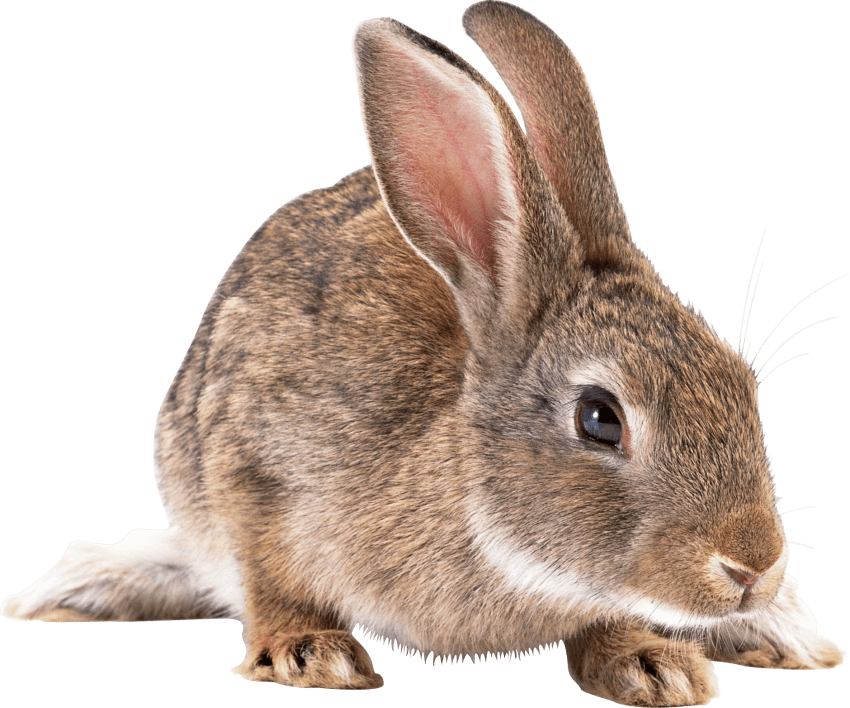 Cute rabbit png. Brown free images toppng