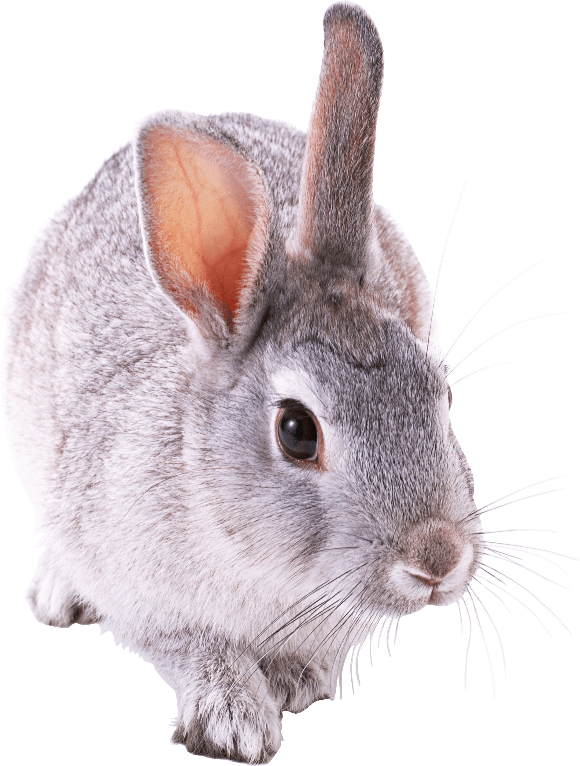 Cute rabbit png. Small transparent stickpng