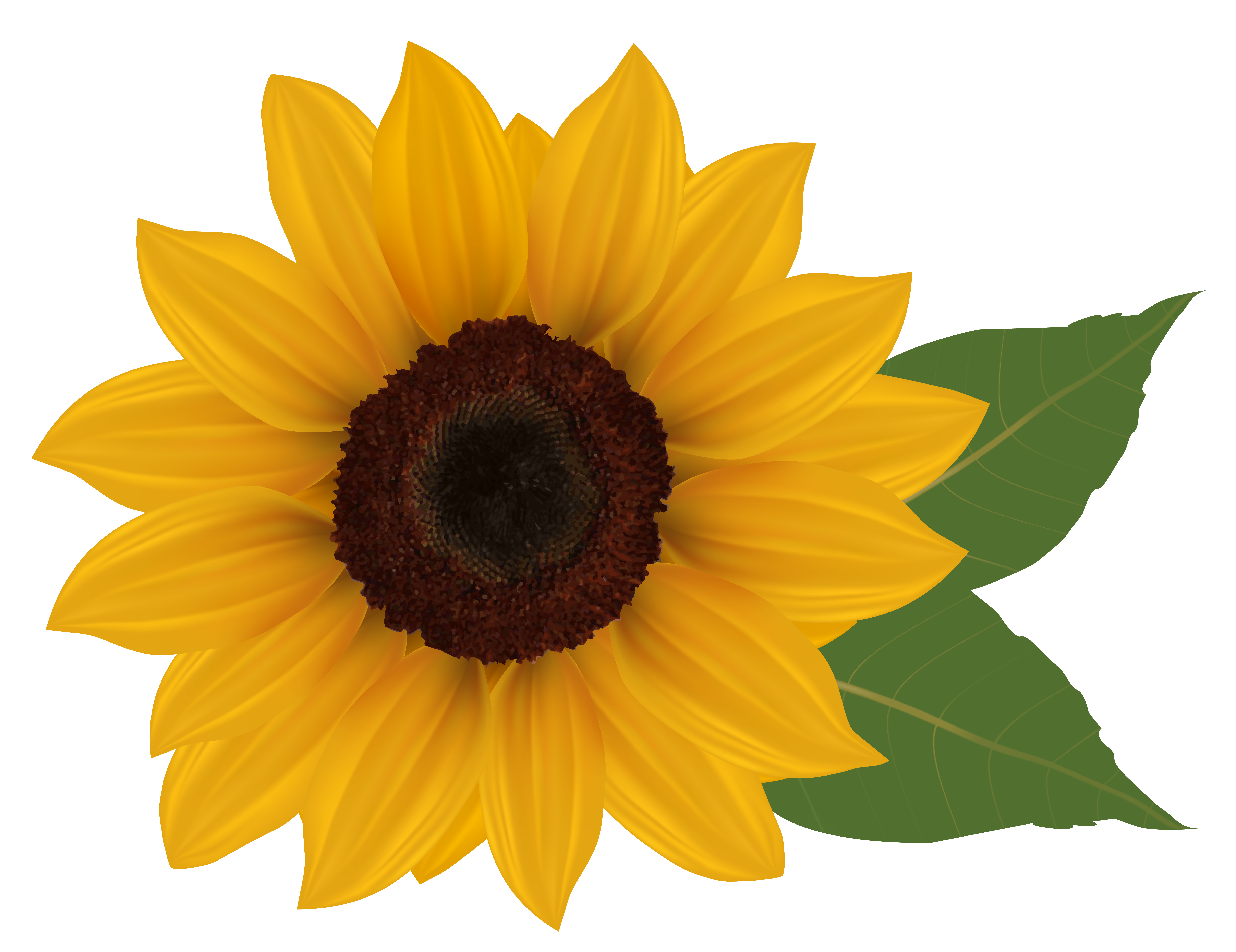 Drawing sunflowers helianthus. Sunflower profile clipart clipground