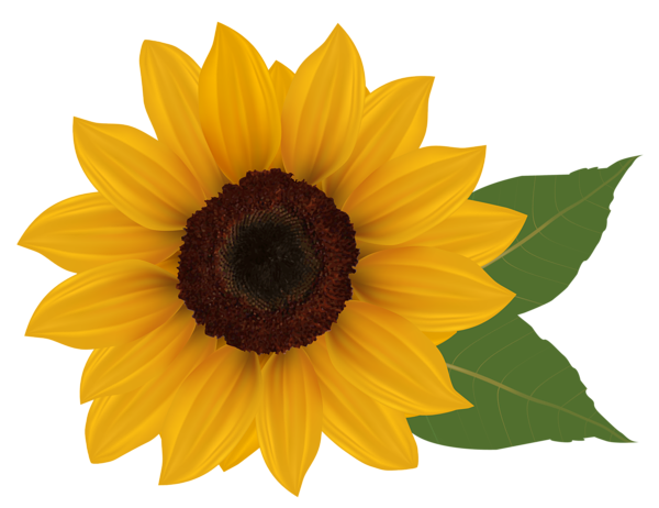 sunflower clipart watercolor