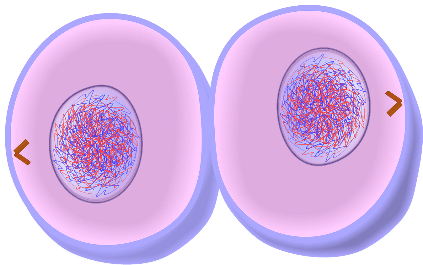 cytokinesis drawing meiosis