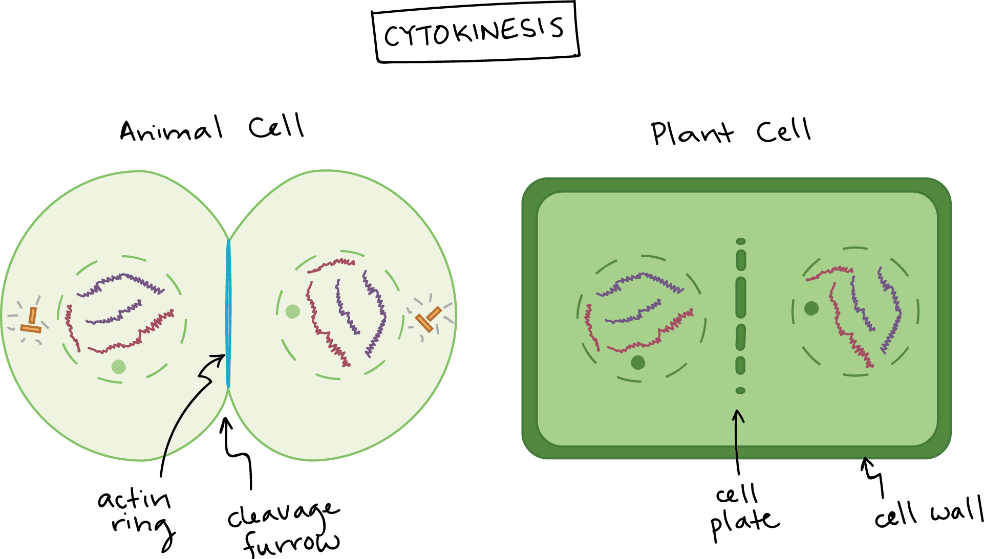 Cytokinesis drawing. Collection of labeled