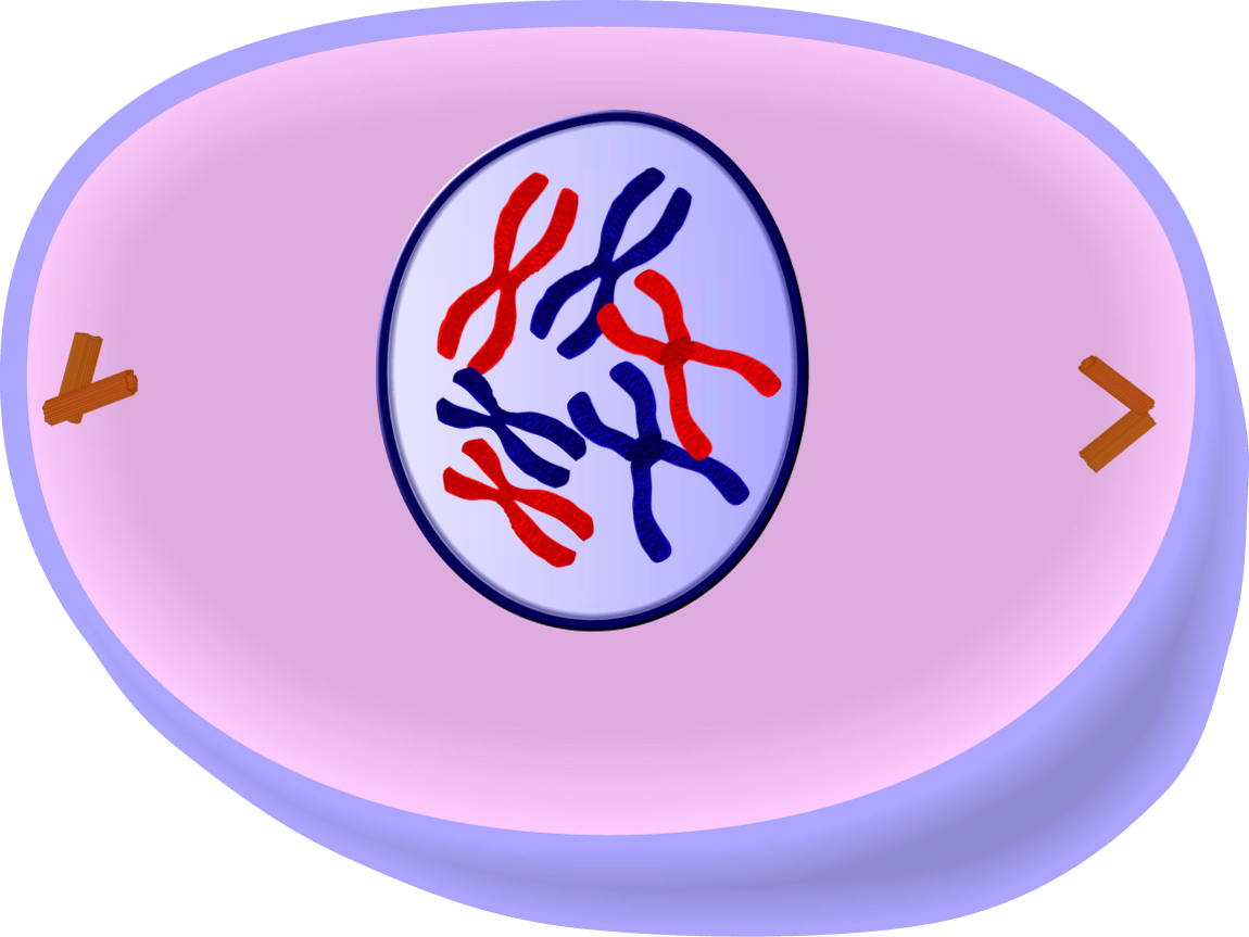 chromatin drawing interphase