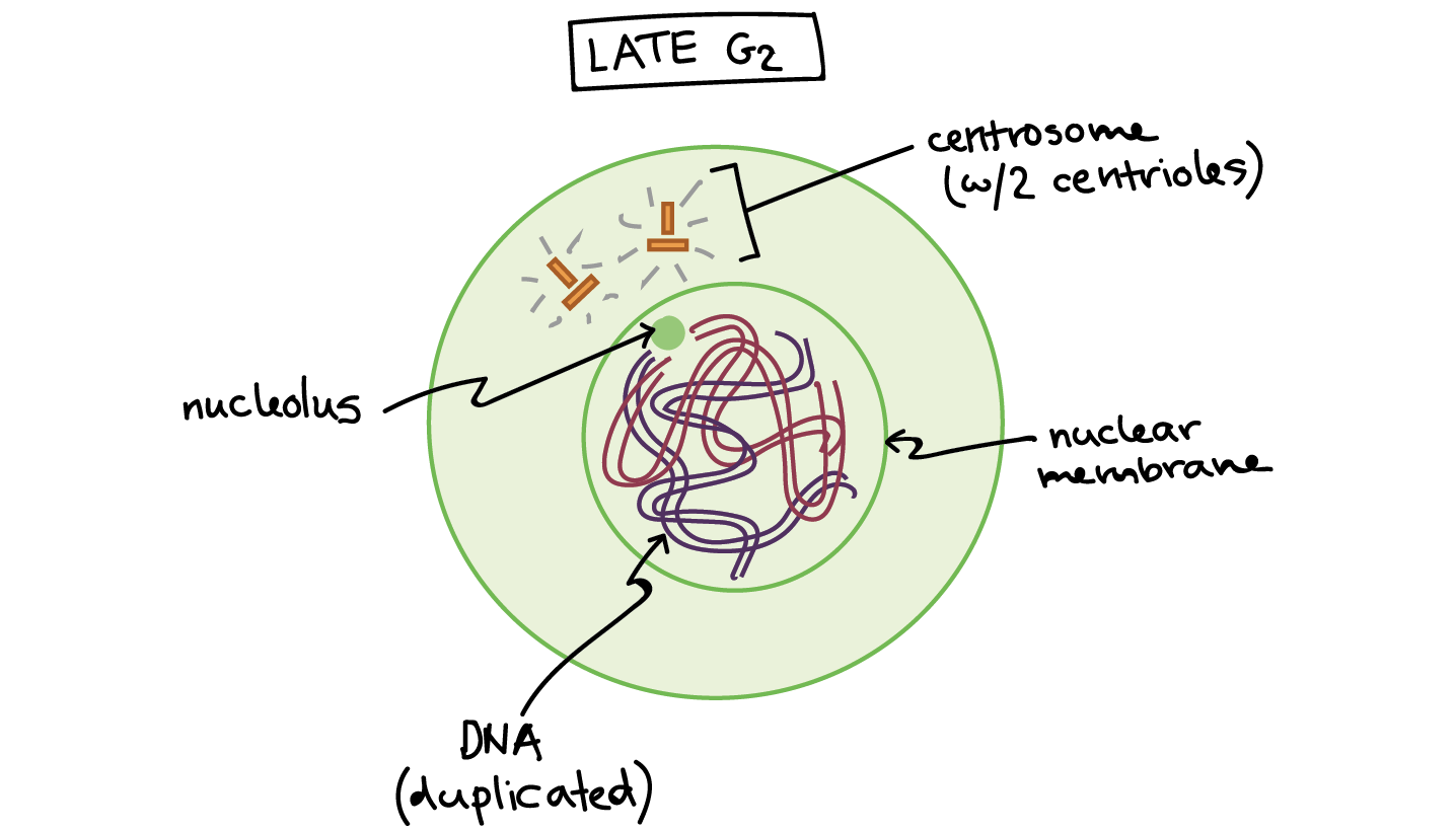 Phases of mitosis article. Drawing science biology png