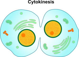 Cytokinesis drawing easy. Collection of high