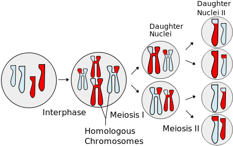 Interval vector interphase. Telophase definition explanation video