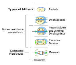 Cytokinesis drawing prophase. Mitosis wikipedia evolutionedit