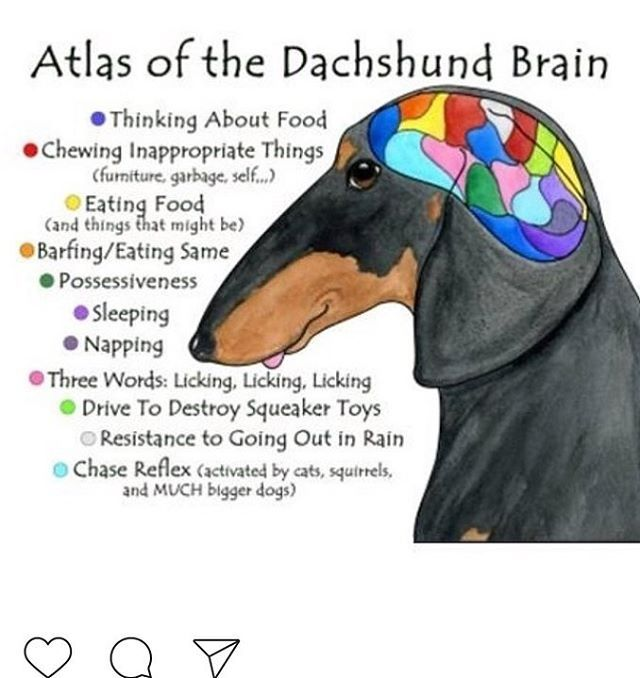 Dachshund clipart chiweenie. The best dachshunds images