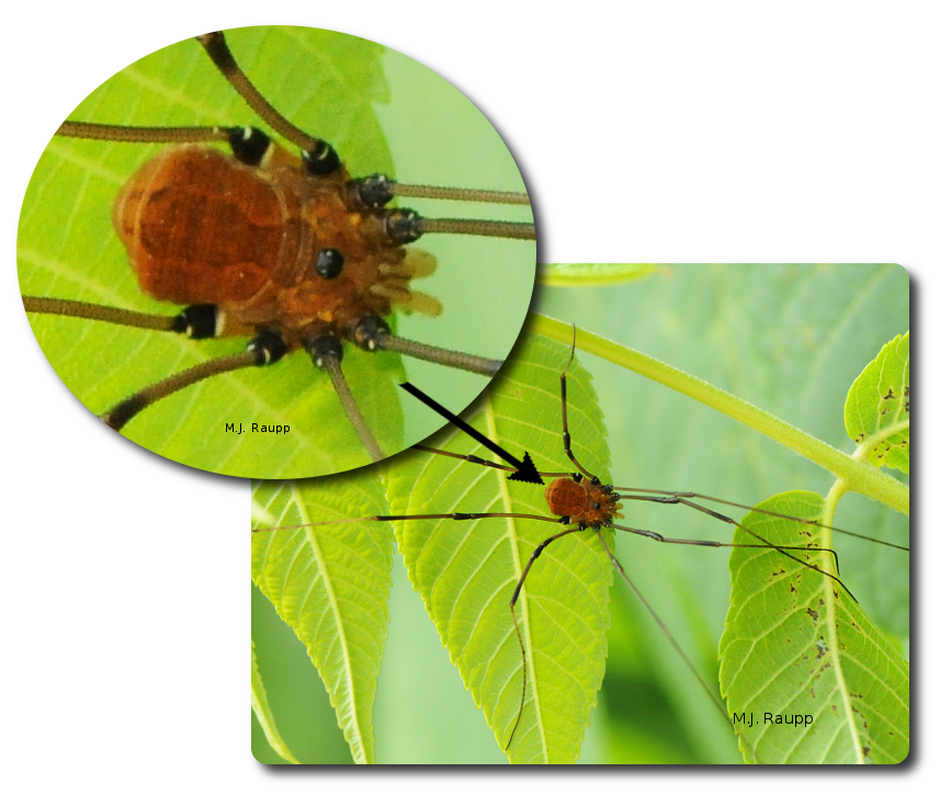 Daddy long legs png. Longlegs not the world