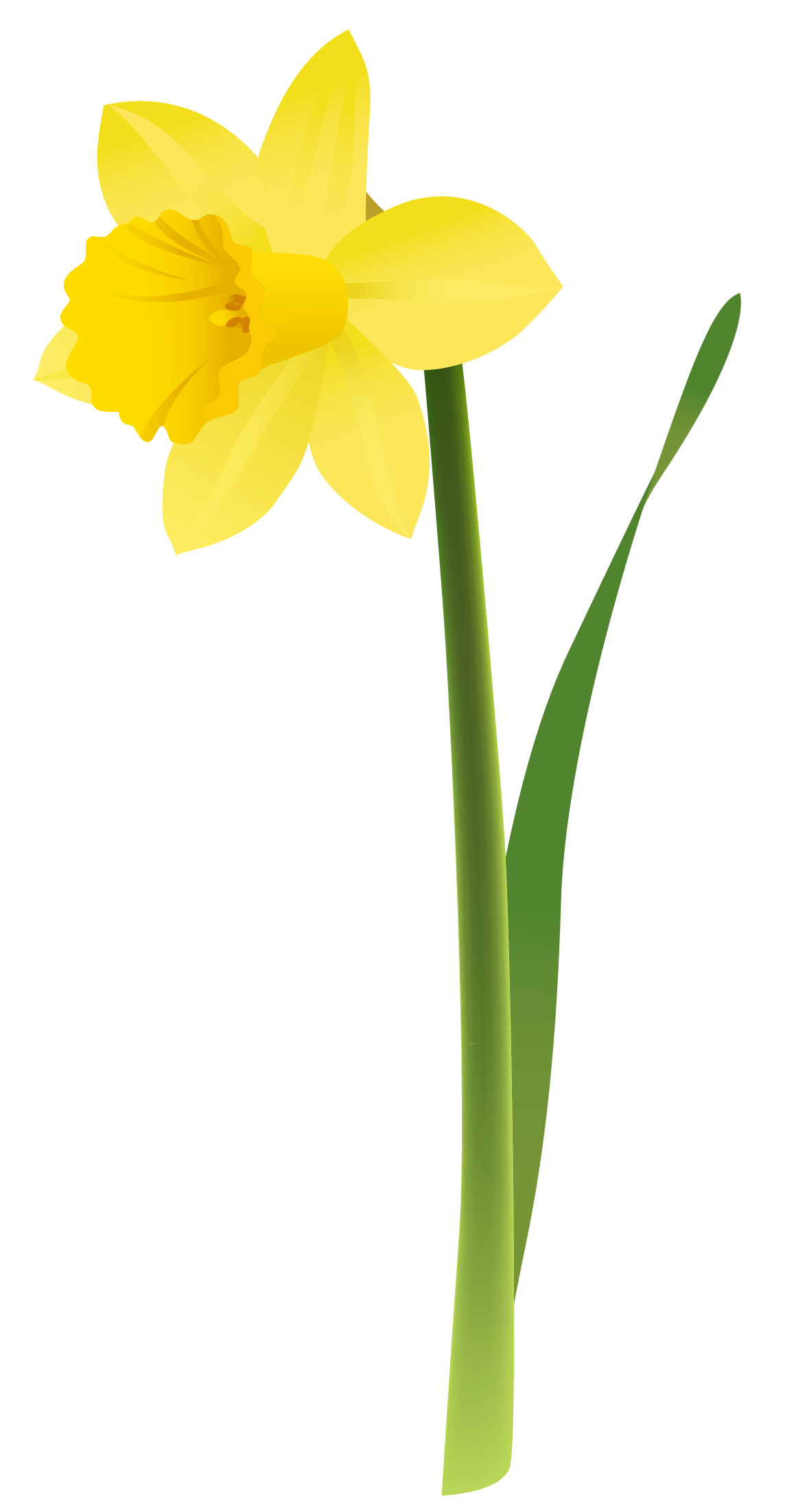 Spring yellow png gallery. Daffodil clipart illustration graphic black and white