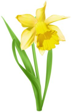 Yellow Transparent Daffodil Flower PNG Clipart | Card Graphics ...