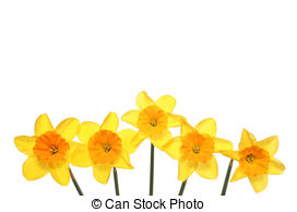 Daffodil clipart. Illustrations and clip art image library stock