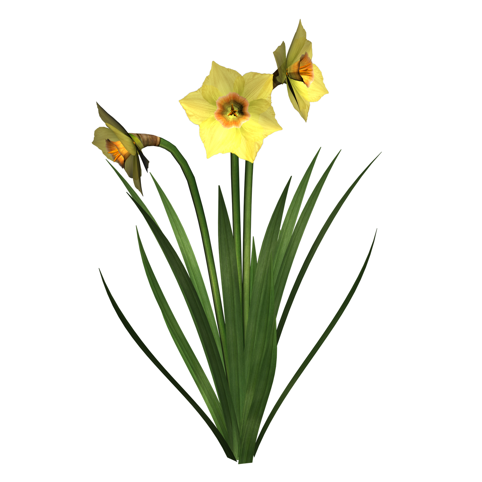 Free daffodils pictures download. Daffodil clipart flower blossom clipart black and white