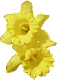 Daffodil clipart yellow daffodil. Computer icons inkscape wildflower