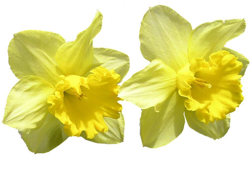 Daffodil clipart bloom. Free photo cut out