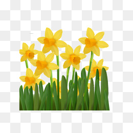 Daffodil clipart bloom. Flower png images vectors
